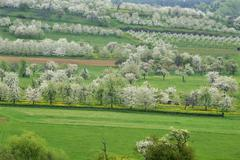 Spring landscape with flowering cherry trees Prunus avium Weissenohe Franconian Stock Photos