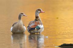 Egyptian Goose Alopochen aegyptiacus two geese standing in water Hesse Germany - stock photo