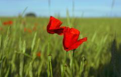 Red poppy field Stock Photos