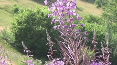 willow-herb, Epilobium - stock footage