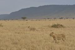Lions Panthera leo lionesses hunting Massai Mara Rift Valley Province Kenya Kuvituskuvat