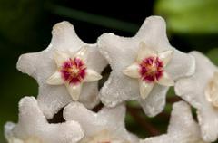 Closeup of a flower umbel of a Wax Plant Hoya carnosa - stock photo