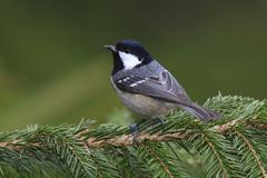 Coal Tit Parus ater perched on a spruce branch Neunkirchen Siegerland North - stock photo