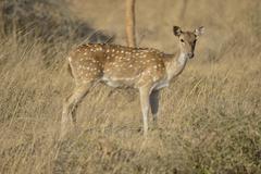 Chital Cheetal or Axis Deer Axis axis female Gir Forest National Park Gir Stock Photos