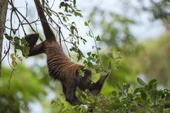 Northern Muriqui Brachyteles hypoxanthus critically endangered species Stock Photos