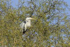 Grey Heron Ardea cinerea perched on a birch tree Hamburg Germany Europe Stock Photos