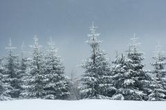 Snow falling in a spruce forest Kuvituskuvat