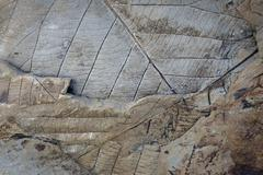 Fossils of deciduous leaves 35 40 million years old found on Longyearbreen - stock photo