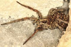 European Wolf Spider or False Tarantula Hogna radiata with spiderlings on its Stock Photos