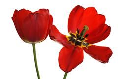 Red tulip flowers Tulipa one withered flower Eckental Middle Franconia Bavaria Stock Photos