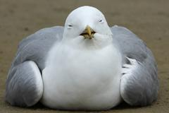 Common Gull Larus canus acting apathetic and having coordination difficulties - stock photo