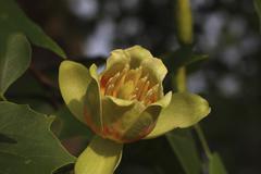 Tulip Tree Liriodendron tulipifera flower Biberach an der Riss Upper Swabia Stock Photos