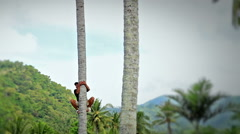 Coco plantation.  Coconut collector climb a palm,  сut leaves and coconuts. Stock Footage