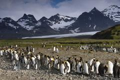 King Penguins Aptenodytes patagonicus in front of glaciers and a mountain Stock Photos
