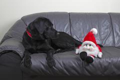 labrador retriever (canis lupus familiaris), hunderasse - stock photo