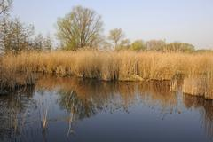 Pond landscape with a reedbed Thuringia Germany Europe Stock Photos