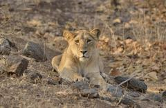 Stock Photo of Asiatic Lion Panthera leo persica young male Gir Forest National Park Gir