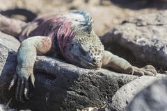 Marine Iguana Amblyrhynchus cristatus Espanola Island Galapagos Islands Ecuador - stock photo