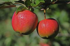 Two red apples hanging on a branch Germany Europe - stock photo