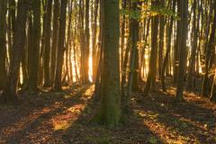 Sunrise in the beech forest in Jasmund National Park UNESCO World Natural - stock photo