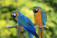 Blue and Yellow Macaws Ara ararauna pair native to South America captive - stock photo