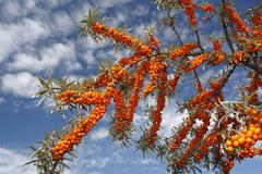 Common Sea Buckthorn Hippophae rhamnoides East Frisian Islands East Frisia Stock Photos