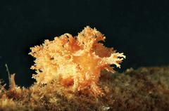 Nudibranch species Dendronotus robustus Sea of Japan Far East Primorsky Krai - stock photo