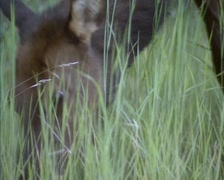 Wapiti, Elk, Cervus Canadensis  grazing in high grass - low angle, tracking shot Stock Footage