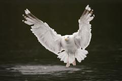 Herring Gull Larus argentatus flying above water Lauvsnes Flatanger - stock photo