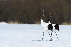 Red crowned Cranes Japanese Cranes or Manchurian Cranes Grus Japonensis mating - stock photo