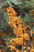 Sea buckthorn Hippophae rhamnoides with ripe berries Mecklenburg Western Stock Photos