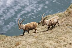 Alpine Ibex Capra ibex High Tauern National Park Heiligenblut Carinthia Austria - stock photo