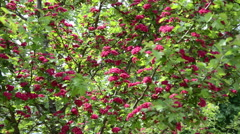 Tilt wonderful hawthorn (Crataegus laevigata) tree twigs blooms Stock Footage