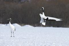 Red crowned Cranes Japanese Cranes or Manchurian Cranes Grus Japonensis - stock photo