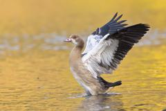 Egyptian Goose Alopochen aegyptiacus spreading its wings North Hesse Hesse - stock photo