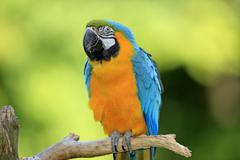 Blue and Yellow Macaw Ara ararauna adult native to South America captive - stock photo