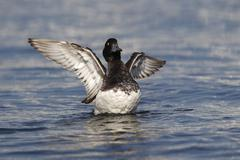 Tufted Duck Aythya fuligula drake flapping its wings Fehmarn Island Stock Photos