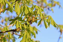 Stock Photo of Horse Chestnut Aesculus hippocastanum foliation Slavonia Croatia Europe