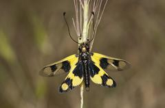 Diurnal Owlfly Libelloides macaronius open wing position Palaiokastro Serres Stock Photos