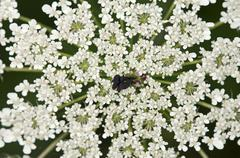 Umbel of Wild Carrot Birds Nest or Bishops Lace Daucus carota with a sterile - stock photo