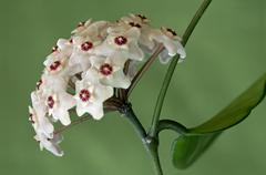 Flower umbel of a Wax Plant Hoya carnosa - stock photo