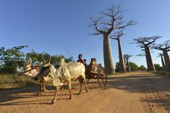 Zebu cart baobabs Adansonia grandidieri in the back Morondava Madagascar Africa - stock photo