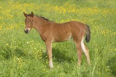connemara pony fohlen / connemara pony foal - stock photo