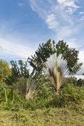Stock Photo of Travellers Tree or Travellers Palm Ravenala madagascariensis in its natural