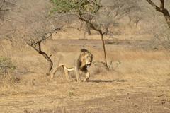 Stock Photo of Asiatic Lion Panthera leo persica male Gir Interpretation Zone Gir Forest