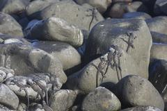 Marine Iguanas Amblyrhynchus cristatus on rocks Espanola Island Galapagos - stock photo