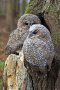 young tawny owls or brown owls (strix aluco) perched in front of a tree hollo - stock photo