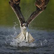 osprey (pandion haliaetus) taking flight after an unsuccessful hunt, pothiola - stock photo