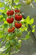 Ripe and unripe tomatoes Solanum lycopersicum on a panicle Mecklenburg Western Kuvituskuvat