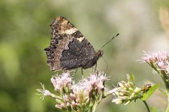 Small Tortoiseshell Aglais urticae butterfly showing the underside of its wing Stock Photos